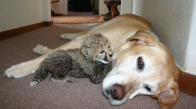 Dog nurturing baby animal