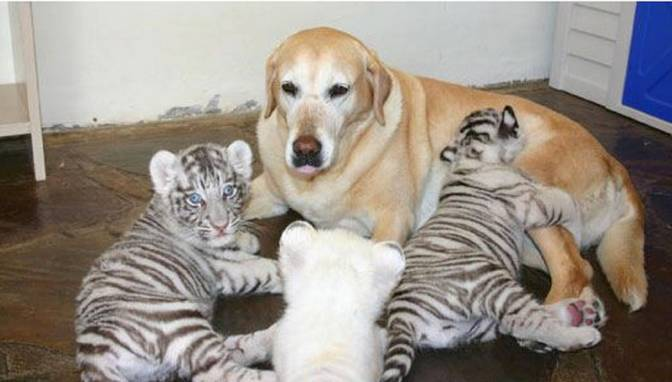 Dog nurturing ophaned animals from zoo.