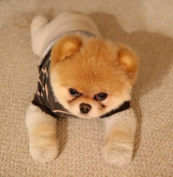 Angry-Pomeranian